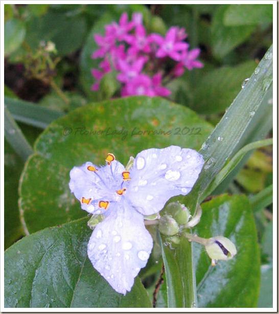 12-15-spiderwort