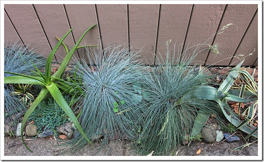 110910_Festuca-glauca-Elijah-Blue_17