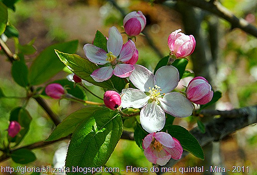 flor da macieira - Gloria Ishizaka