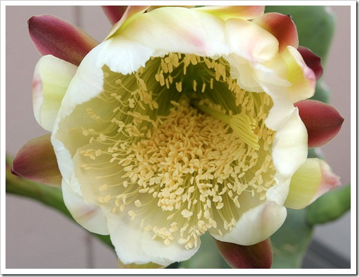 110815_Cereus-hildmannianus-700pm