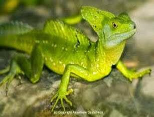 Amazing Pictures of Animals, Photo, Nature, Incredibel, Funny, Zoo, Common basilisk, Basiliscus basiliscus, Reptil, Alex (13)
