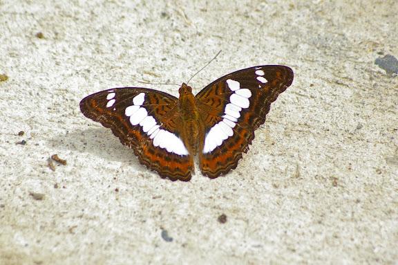 Moduza procris agnata FRUHSTORFER, 1896. Poring (Sabah, Malaisie, Bornéo), 31 juillet 2011. Photo : J.-M. Gayman