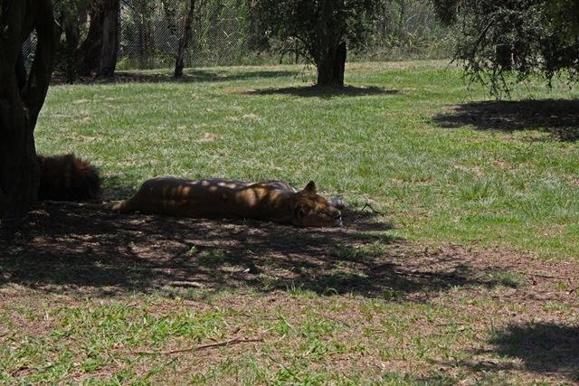 Sleeping Lioness, Lion Park Johannesburg