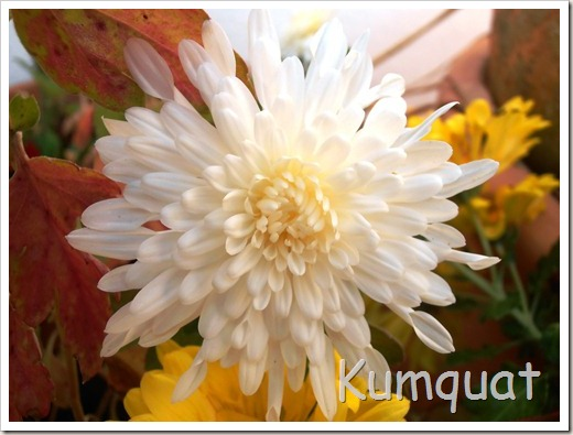 crisantemo 3