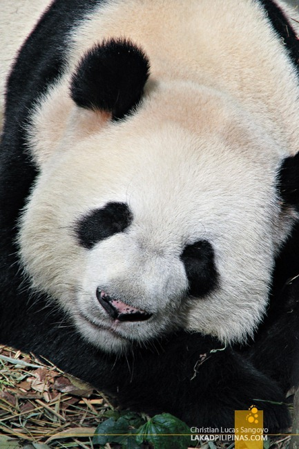 Singapore's Cute Giant Pandas