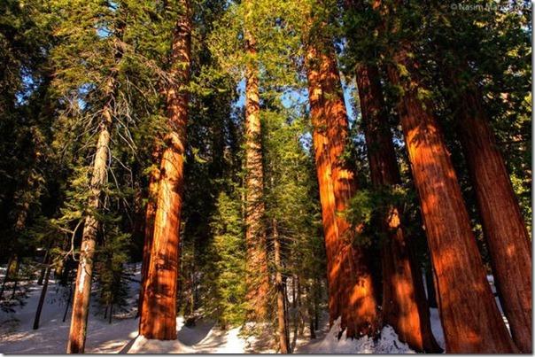 imagens das sequois do Parque Nacional Redwood (2)