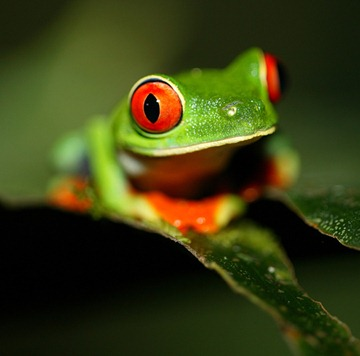GREEN_FROG_8172