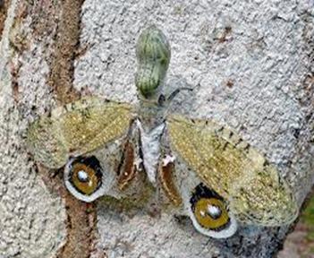 Amazing Pictures of Animals, photo, Nature, exotic, funny, incredibel, Zoo,,Peanut Bug Fulgora laternaria, Alex (9)