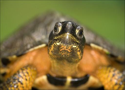 wood turtle Amphibians & Reptiles