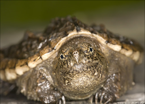 Snapping Turtle Amphibians & Reptiles