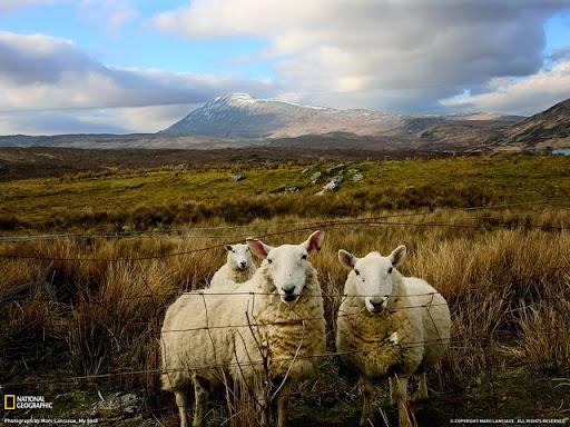 Scottish Sheep Beautiful Landscape Photos