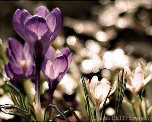 Crocus Bokeh Beautiful Flower Photography