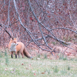 Fox on the prowl by Anthony Battaglia - Novices Only Wildlife