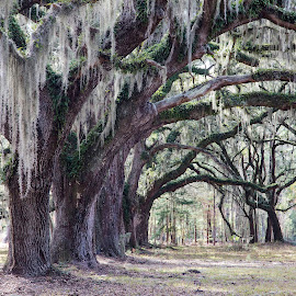 Moss and Oaks by Bonnie Davidson - Landscapes Travel ( beaufort, estuary, photograph, oaks, ace basin plantation, ace basin, moss, landscape, oaks and moss, plantation, south carolina, charleston, trees,  )