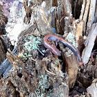 Northern Red Back salamander