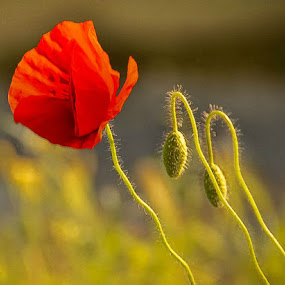 Poppies by Kati Raileanu - Flowers Flowers in the Wild
