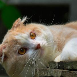 #scottishfold by Cacang Effendi - Animals - Cats Portraits ( cats, cattery, kitten, animals, chandra )