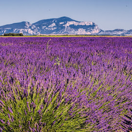 lavender fields by Vibeke Friis - Landscapes Prairies, Meadows & Fields ( hills, mountains, lavender, fields,  )