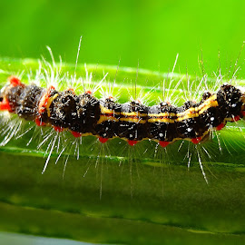 Horny by Umesh Halder - Animals Other ( macro, nature, caterpillar )