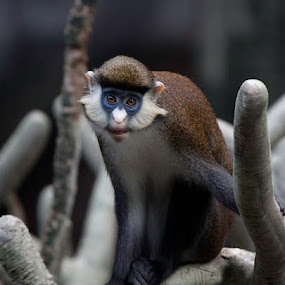 Red-Tailed Guenon African Monkey by Debbie Salvesen - Animals Other Mammals ( african monkey, illinois, african, zoo, red-tailed guenon african monkey, brookfield zoo, tropical, primate, chicago, monkey,  )