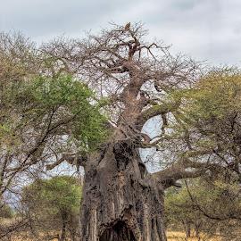 Pochers hole by Vibeke Friis - Nature Up Close Trees & Bushes ( poachers tree, tree with large hole,  )