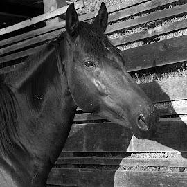 PortretJutrom by Andrea Šipuš - Animals Horses (  )