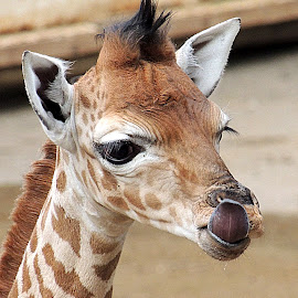 6 day old Kito by Kathryn Willett - Animals Other Mammals ( zoo, giraffe, captive, portrait, photography )