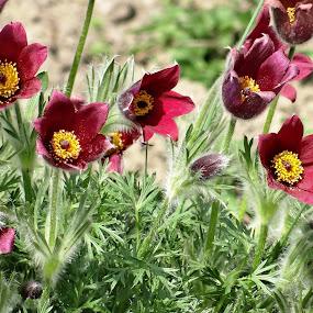 deep red flowers by Dubravka Bednaršek - Flowers Flower Gardens ( , purple, yellow, color )
