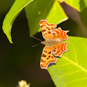 Comma Buterfly