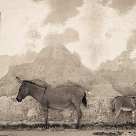 Young donkeys by Stefania Loriga - Animals Other Mammals ( asinara, animals, sardinia, donkey, asses )