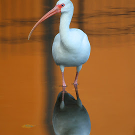 Ibis Reflections by Anthony Goldman - Animals Birds ( water, bird, reflection, ibis, tampa, white, pond,  )