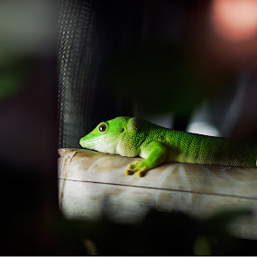 Hiding in darkness by Daniel Legendarymagic - Animals Reptiles ( lizard, dcp, red, green, cage, digicore, legendarymagic, darkness, bokeh )