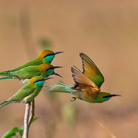 GREEN BEE-EATERS.. . by Mohan Munivenkatappa - Animals Birds