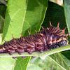 lepidoptera larvae