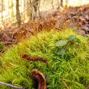 Windblown Moss