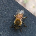 Western (European) honey bee