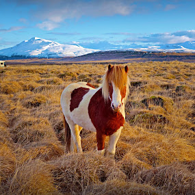 Wild horse in west Iceland by Kristján Karlsson - Animals Horses