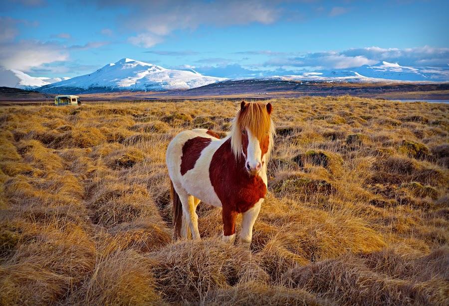 Wild horse in west Iceland by Kristján Karlsson - Animals Horses