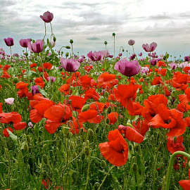 Poppies by Sebastian Mezei - Landscapes Prairies, Meadows & Fields ( field, field with poppies, sky, nature, poppies )