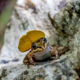 Frog with A leaf hat by Ferdie Wolfie Malherbe - Animals Amphibians (  )
