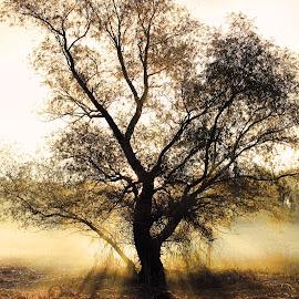 Gods tree by Nemanja Jerkov - Landscapes Forests ( tree, fog, forest, morning, light )