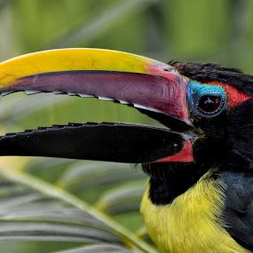 by Paulus Soegriemsingh - Animals Birds (  )