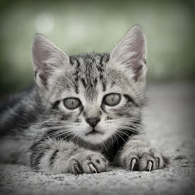 by Boris Romac - Animals - Cats Kittens