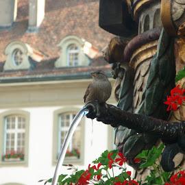 Swiss fountain by Neža Kompare - Nature Up Close Water ( bird, water, fountain, switzerland, flowers,  )