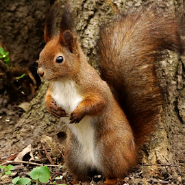squirrel stand-up by Zoltan Szabo - Animals Other Mammals