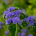 Blue Curls wildflower