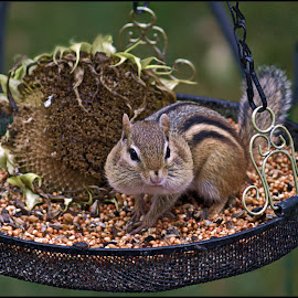Chippy Cheeks by Catherine Melvin - Animals Other Mammals ( chipmunk, sunflower, seeds, adorable, cute,  )