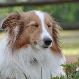 Pure Contentment by Sandy Newfield - Animals - Dogs Portraits ( content, warm, satisfied, contentment, happy, shetland sheepdog, summer, enjoy, sheltie )