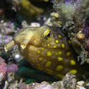 Sharptail snake-eel