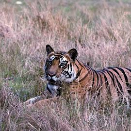 Tiger Tiger... burning bright! by Avishek Patra - Animals Lions, Tigers & Big Cats ( bandhavgarh, madhya pradesh, tiger cub, king of the jungle, tiger eyes, tiger, tiger stripes, india, cub )